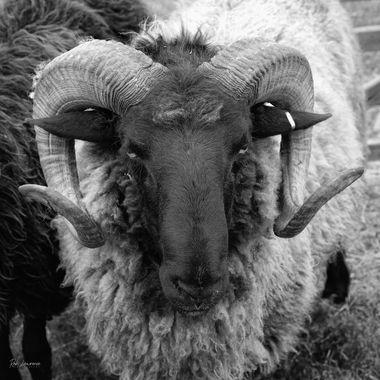 Old Ram