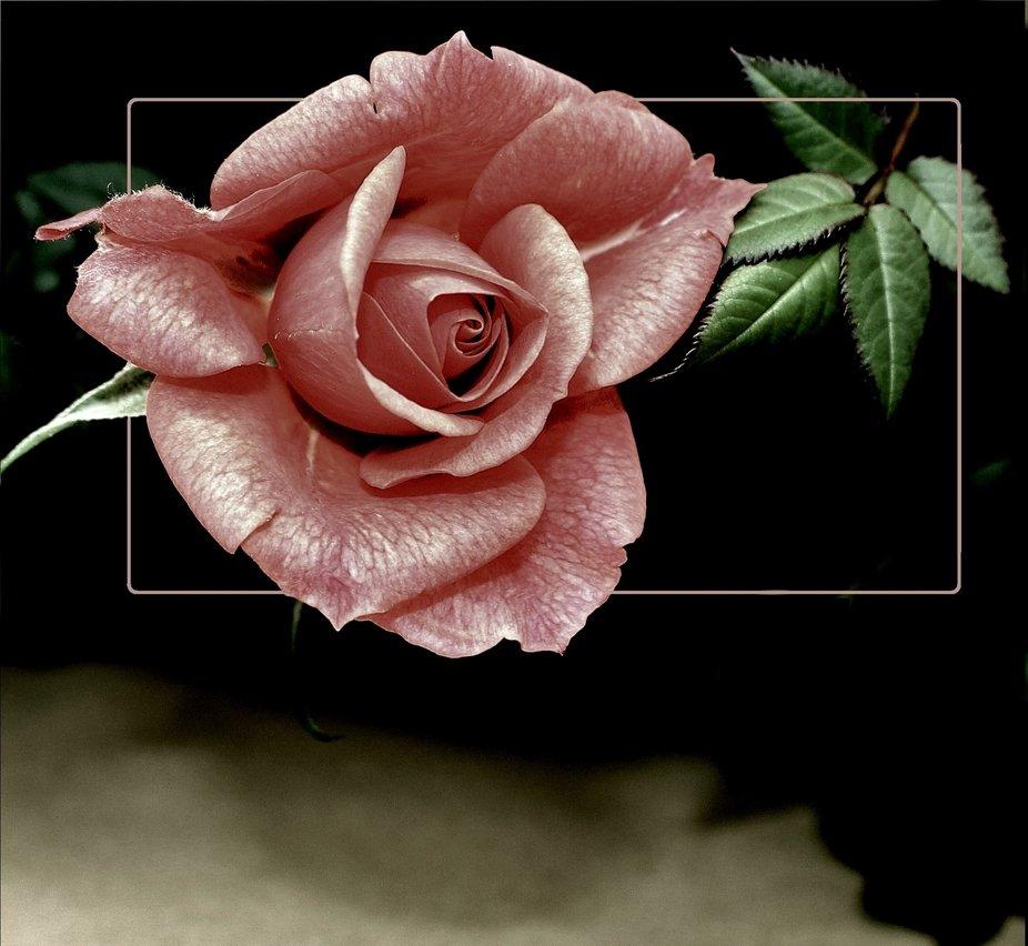 Minature type rose in dark situation.