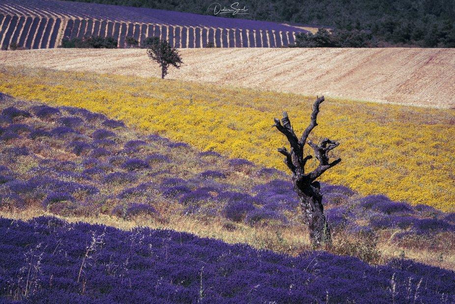lavender's fields : pays de sault Provence