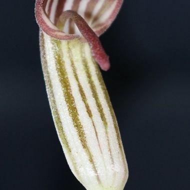 Arisaema flower