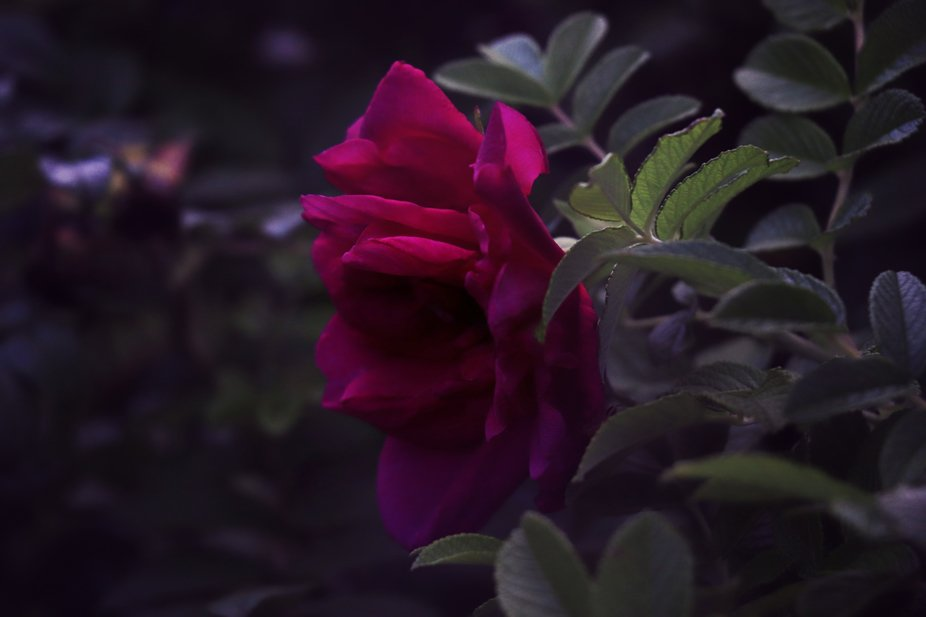 Blossoms in my backyard is a series I have been working on all summer. These were taken at dusk, ...