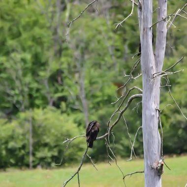 Heat driven turkey vultures