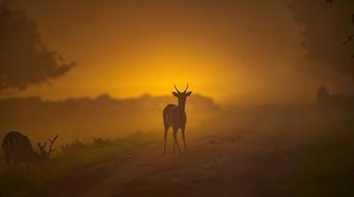 Fallow deers.