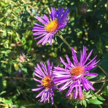 New England Asters in their most vivid purple