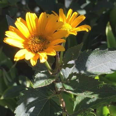 These lovely gold flowers afe false sunflowers