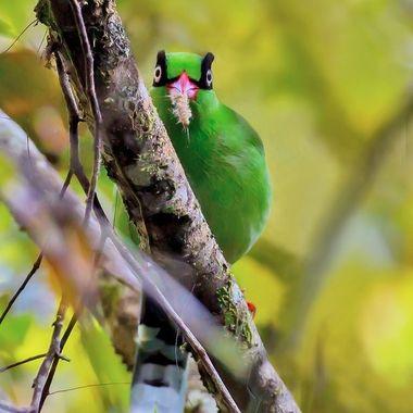 Borneo Magpie-8877