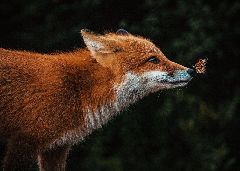 Red fox & monarch butterfly.