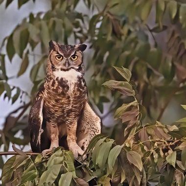 Great-horn Owl DSC01947