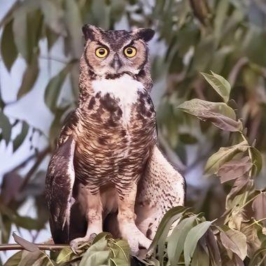 Great-horn Owl DSC01970