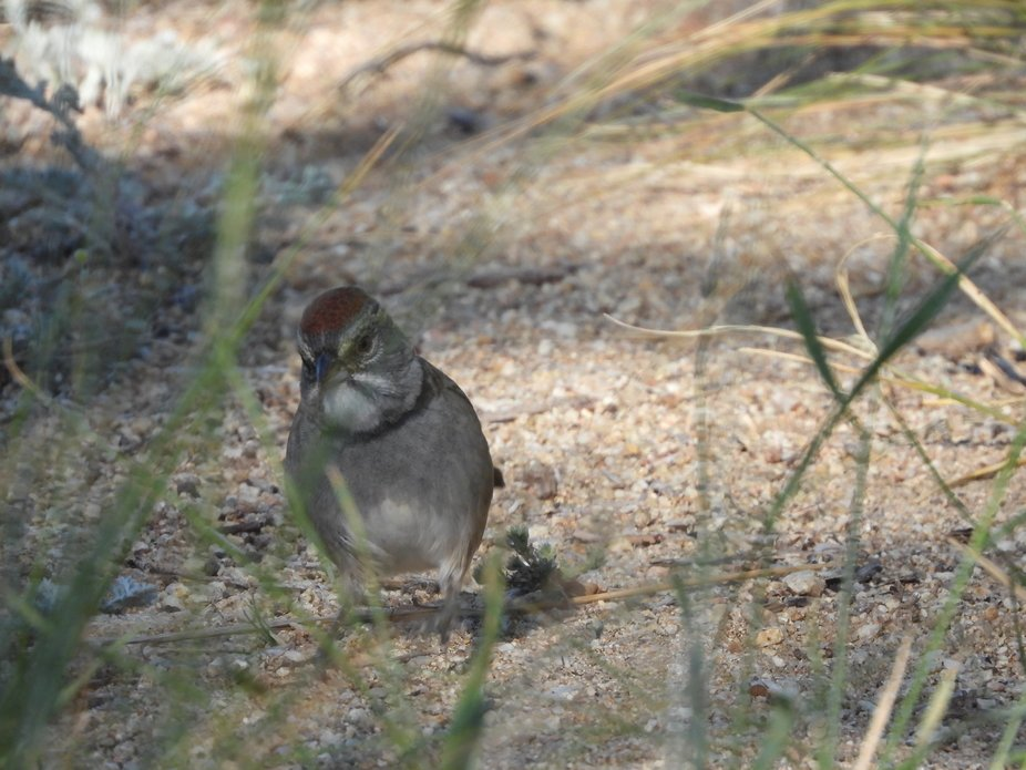 Green Tailed Tohee