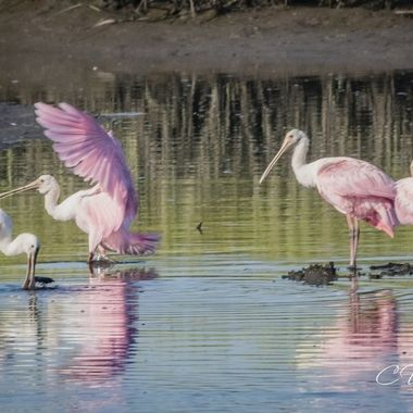 On a back road in Ravenel, SC I came across this little pond that at least 8 to 9 spoonbills were hanging around. I was like jackpot.