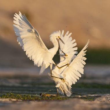 Snowy Egret fighting DSC01246