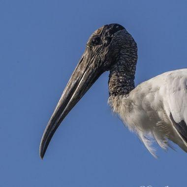 wood-stork in Ravenel, SC