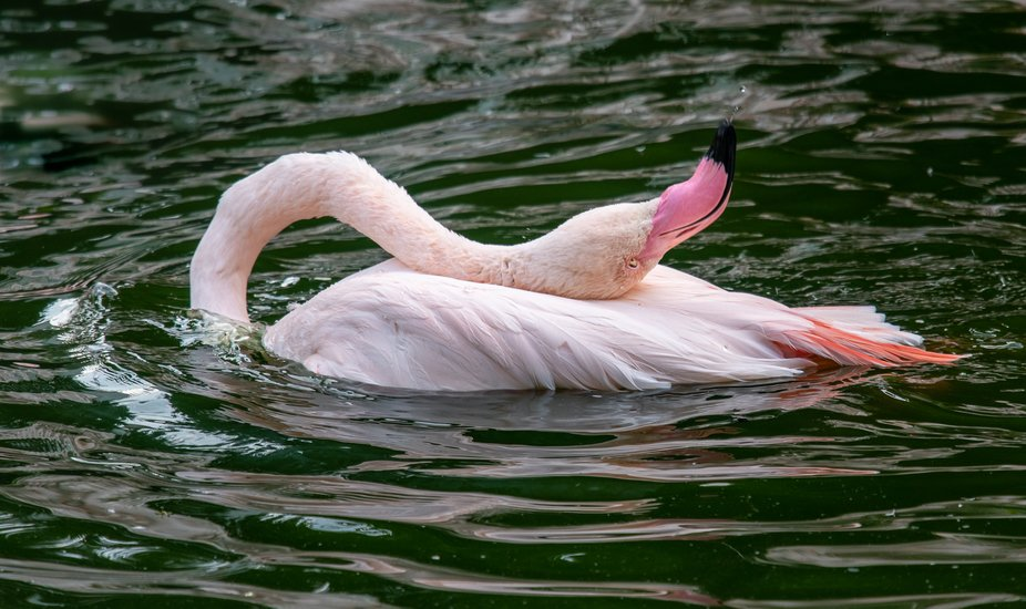Flamingo ablutions