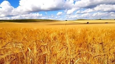 Rolling fields of gold.