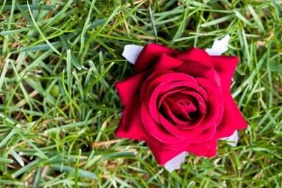 Red Rose on th Green Grass, Wedding Flower