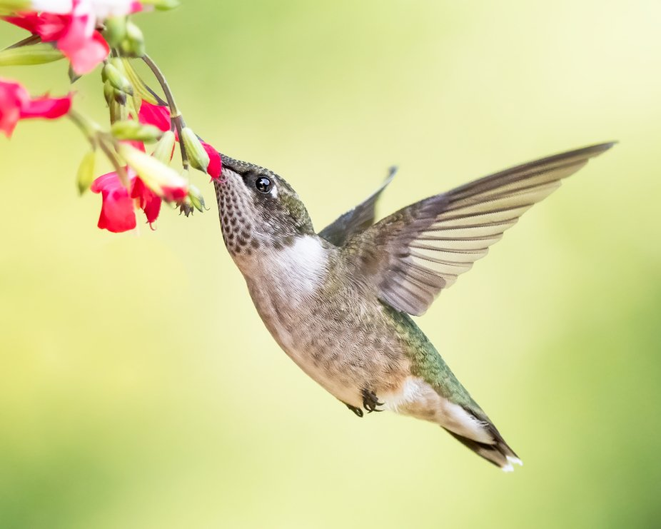 Hummers love salvia