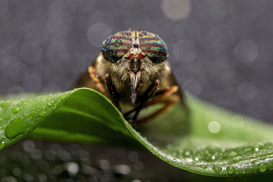 A horsefly waiting for dew to evaporate before heading off looking for a meal. No wonder their bi...