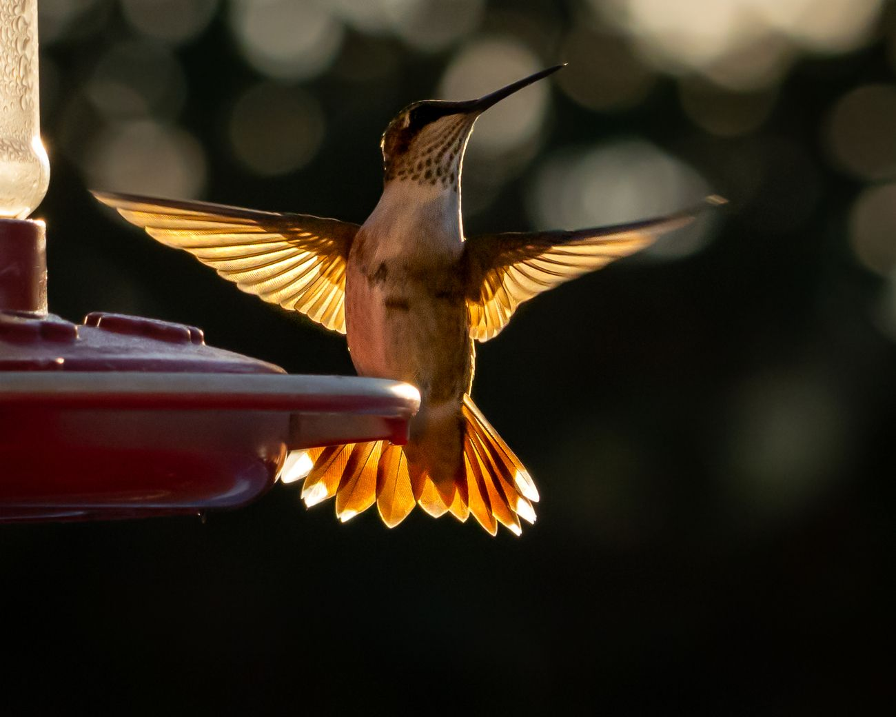 backlit hummingbird