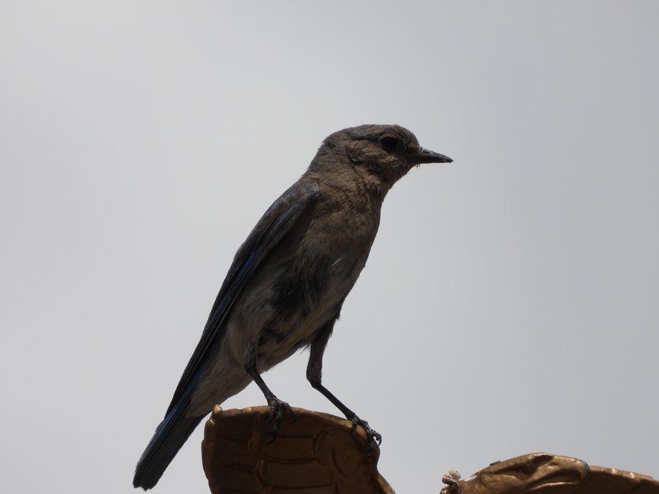 Bluebird on a Gray Day on a Flagpole