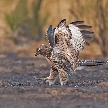 Red-tailed Hawk DSC02737