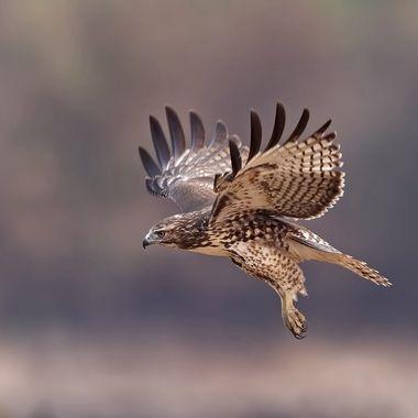 Red-tailed Hawk Juvenile in-flight DSC02190