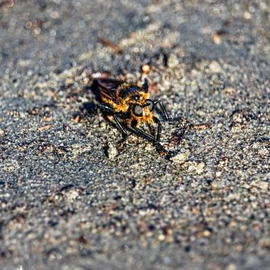 A Giant Robber Fly Asilidae