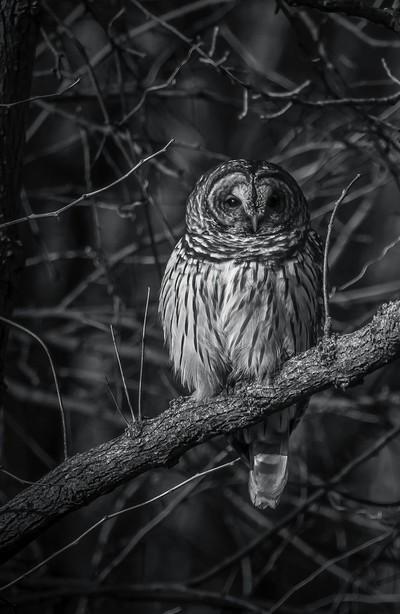 B&W-Barred Owl_3899
