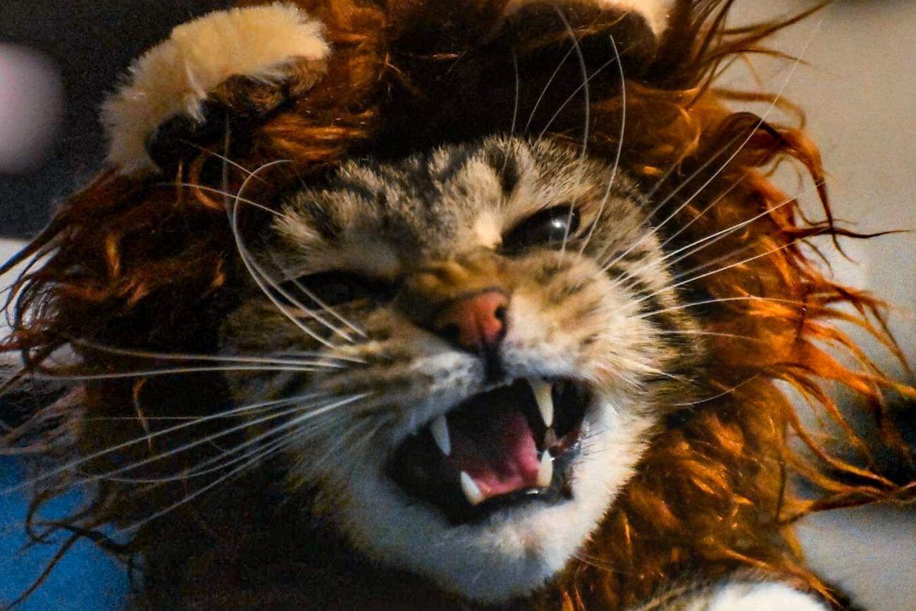 I IS LION!!!