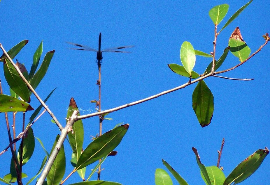 Dragon fly perched upside down