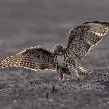 Red-tailed Hawk DSC09191