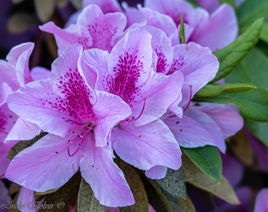Pink Azaleas-Rohododendrons