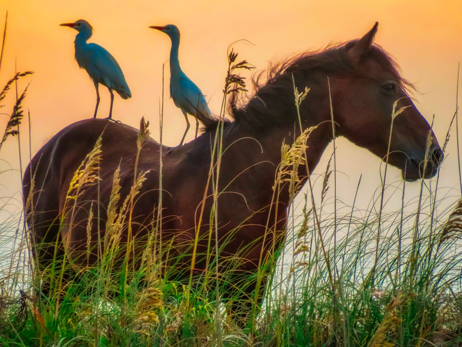 Taken at the golden hour on the beach in the Outerbanks of North Carolina.  They have wild horses...