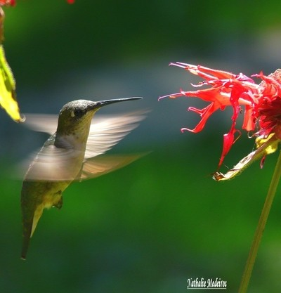 Female HummingBird-Monarde.