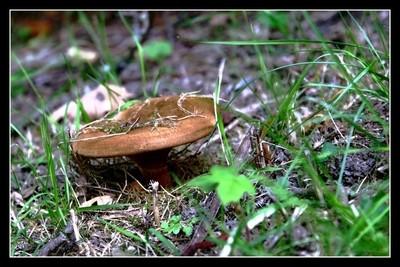 Mushrooms -Fungi