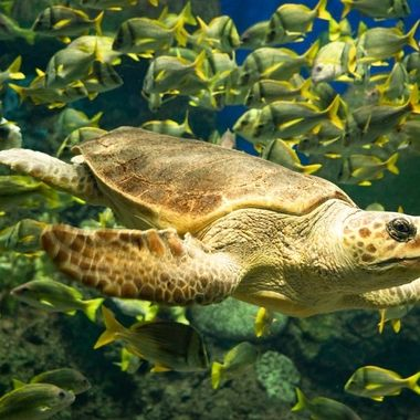 Sea turtle surrounded by tiny yellow fin fish.