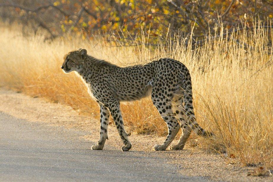 Cheetah in the road