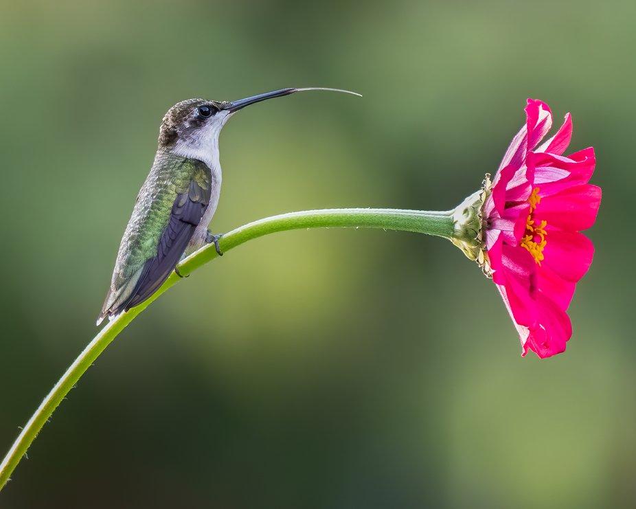 Hummingbird on Zinna