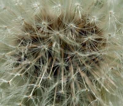 Dandelion Close Uo