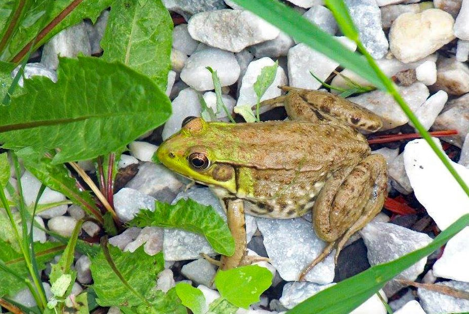 Frog trying to hide