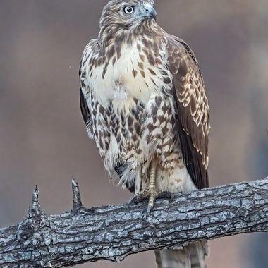 Red-tailed Hawk DSC09721