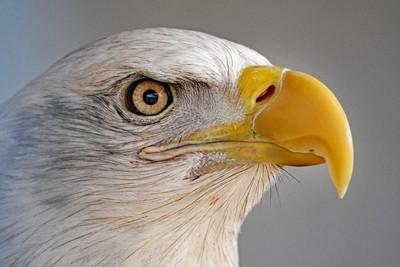 bird of America