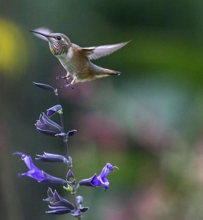 Juvenile Rufous Hummingbird 2.JPG