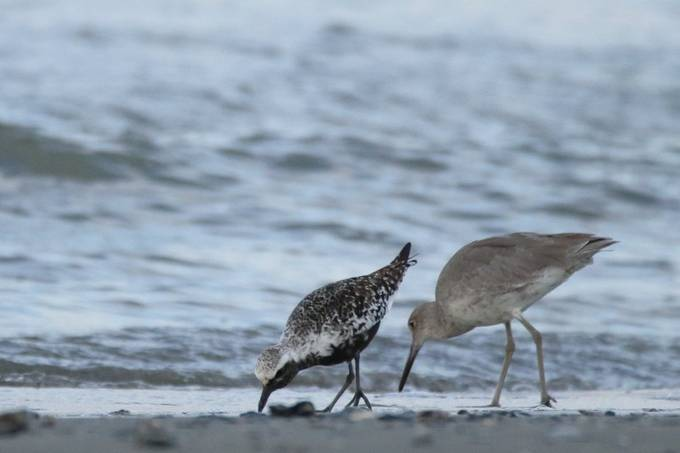 Black-bellied Plover and Willet