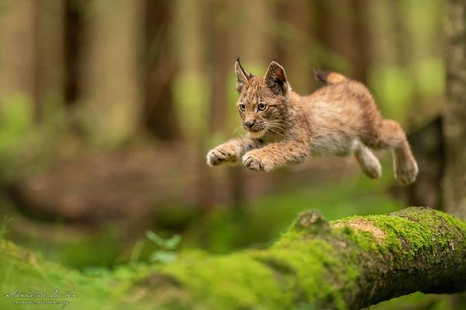 Jumping Lynx by duben - Image Of The Month Photo Contest Vol 61