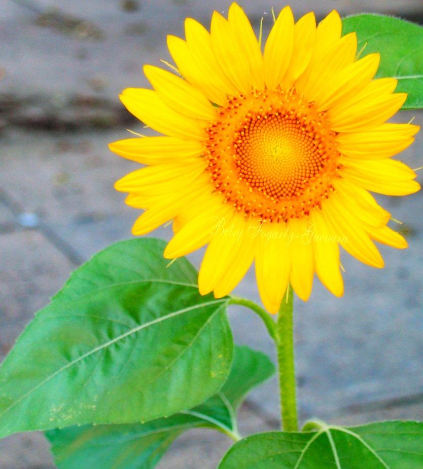 Sunflower looking it's best