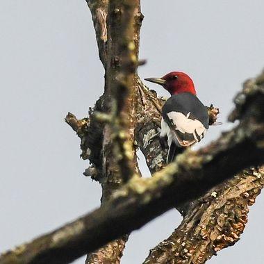 Redheaded Woodpecker high in  tree  DSC_1871