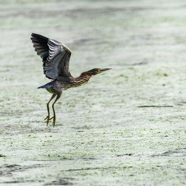 Juvenile Green Heron DSC_1836