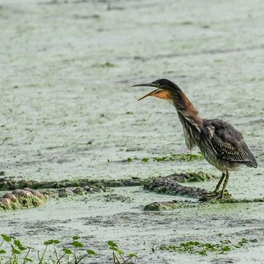 Green Heron telling it like it is