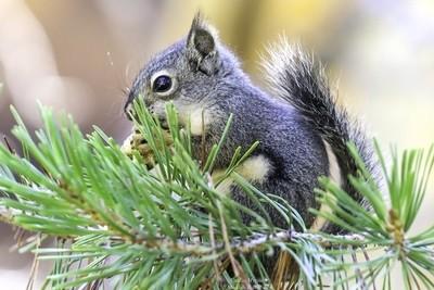 Douglas's Squirrel_1_yoshi